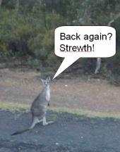 "Kangaroo saying ""Back again? Strewth!"